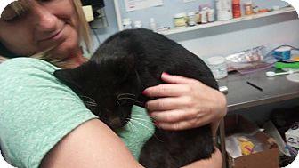 Domestic Shorthair Cat for adoption in Darlington, South Carolina - Hefner