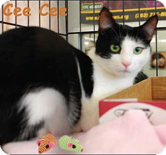 Domestic Shorthair Cat for adoption in Merrifield, Virginia - Cee Cee