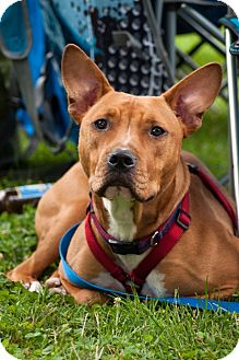 Pit Bull Terrier/Basset Hound Mix Puppy for adoption in Chalfont, Pennsylvania - Colt(Brownie)