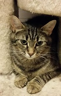 Domestic Shorthair Cat for adoption in Montreal, Quebec - Kaylie
