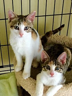 Domestic Shorthair Kitten for adoption in Royal Palm Beach, Florida - Sister Kitties