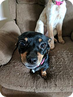 Chihuahua Mix Dog for adoption in DeForest, Wisconsin - Peggy