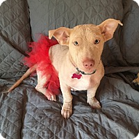 Adopt A Pet :: Blondie - Mount Laurel, NJ