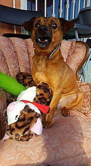 Dachshund/Terrier (Unknown Type, Medium) Mix Dog for adoption in San Diego, California - Bubu