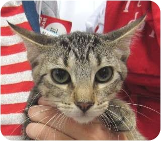 Domestic Shorthair Kitten for adoption in Schertz, Texas - Duncan