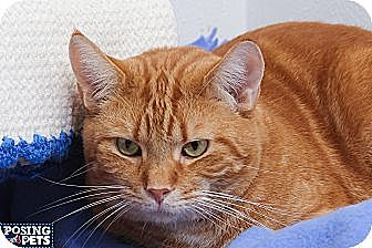 Domestic Shorthair Cat for adoption in Salem, Ohio - Jaguar