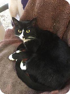 Domestic Shorthair Cat for adoption in Atlanta, Georgia - Tami