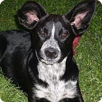 Adopt A Pet :: Blaise - Austin, TX