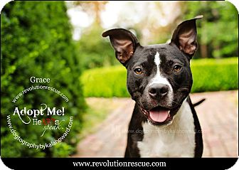 American Pit Bull Terrier/Boston Terrier Mix Dog for adoption in Lincoln, Nebraska - Grace