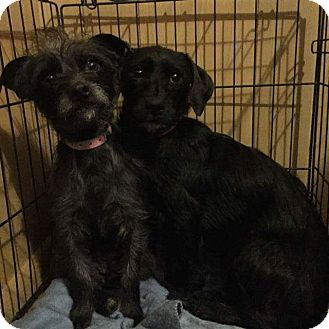 Terrier (Unknown Type, Small)/Schnauzer (Miniature) Mix Dog for adoption in San Antonio, Texas - June
