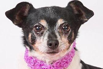 Chihuahua Dog for adoption in Colorado Springs, Colorado - Salsa
