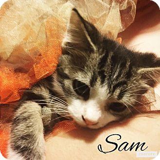 Domestic Mediumhair Kitten for adoption in Zanesville, Ohio - Sam