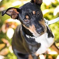 Adopt A Pet :: Sullivan - Pitt Meadows, BC