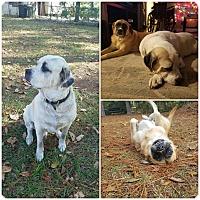 Adopt A Pet :: Bella and Brewsier - Tallahassee, FL