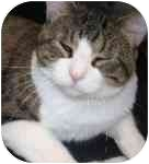 American Shorthair Cat for adoption in Lake Ronkonkoma, New York - Oh Henry