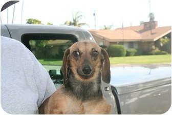 Dachshund Dog for adoption in Garden Grove, California - Chiquis