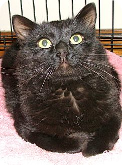 Maine Coon Cat for adoption in Chattanooga, Tennessee - Blackjack