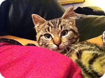 Domestic Mediumhair Kitten for adoption in Island Park, New York - Shamrock