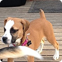 Adopt A Pet :: Annie - Indianapolis, IN