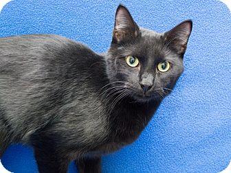 Domestic Shorthair Cat for adoption in Warren, Michigan - Pepper