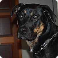 Rottweiler/German Shepherd Dog Mix Dog for adoption in Edmonton, Alberta - Radar