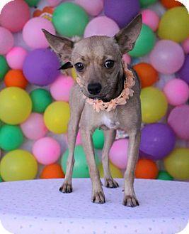 Pug/Chihuahua Mix Dog for adoption in Phoenix, Arizona - Frannie