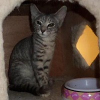 Domestic Shorthair Cat for adoption in Harrisburg, Pennsylvania - Flo (teenage girl)