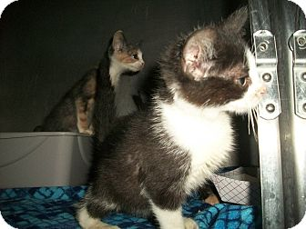 Domestic Shorthair Kitten for adoption in Flint, Michigan - Lilly