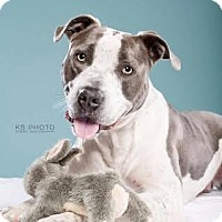 American Bulldog/Pit Bull Terrier Mix Dog for adoption in Norwich, Connecticut - Bruno