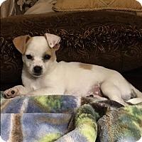 Adopt A Pet :: Fizziwig - Monrovia, CA