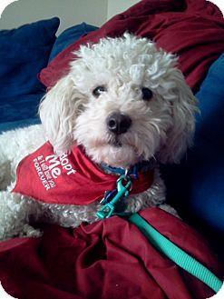 Bichon Frise/Poodle (Miniature) Mix Dog for adoption in Studio City, California - Doddle