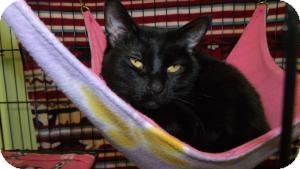 Domestic Shorthair Cat for adoption in Muskegon, Michigan - Cecilia