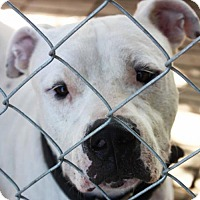 American Bulldog/Labrador Retriever Mix Dog for adoption in Cleveland, Texas - Buster