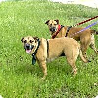 Adopt A Pet :: Hope and Courage family dogs - Sacramento, CA