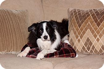 Border Collie Dog for adoption in Oliver Springs, Tennessee - Nana