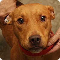 Bull Terrier Mix Dog for adoption in Fort Madison, Iowa - Thor