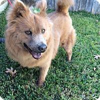 Adopt A Pet :: Panchita - San Antonio, TX