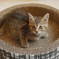Adopt A Pet :: Harley - Columbus, OH