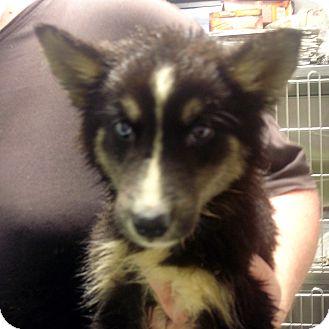 Husky/Collie Mix Puppy for adoption in Greencastle, North Carolina - Desire