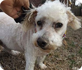 Bichon Frise Mix Dog for adoption in Memphis, Tennessee - Bailey