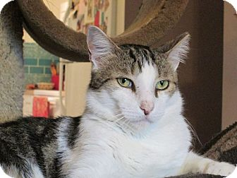 Domestic Shorthair Cat for adoption in Tampa, Florida - Monet