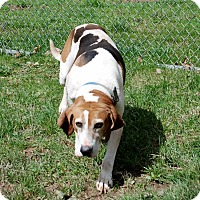 Treeing Walker Coonhound Mix Dog for adoption in Salem, West Virginia - Mia