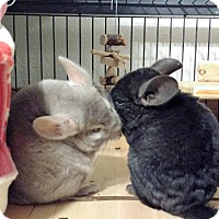 Chinchilla for adoption in Avondale, Louisiana - Xena & Ebby