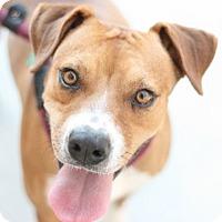 Adopt A Pet :: Dash - Canoga Park, CA