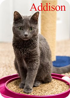 Domestic Mediumhair Cat for adoption in Baltimore, Maryland - Addison