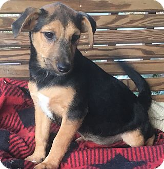 Terrier (Unknown Type, Small) Mix Puppy for adoption in Hagerstown, Maryland - Rose