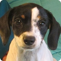 Adopt A Pet :: Twinkie - Hagerstown, MD