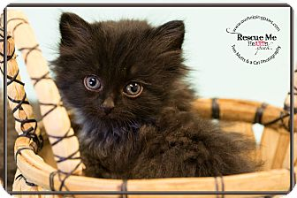 Domestic Longhair Kitten for adoption in Washburn, Wisconsin - Black Hills