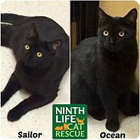 Domestic Shorthair Cat for adoption in Oakville, Ontario - Ocean & Sailor