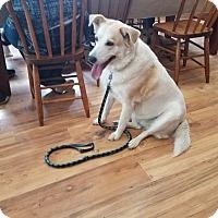 Labrador Retriever/Corgi Mix Dog for adoption in Walthill, Nebraska - Nala